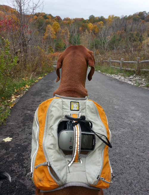 Lou the dog with GPS device